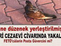 Silivri Cezaevi yakınında üzerine düzenek yerleştirilmiş 'posta güvercini' yakalandı!